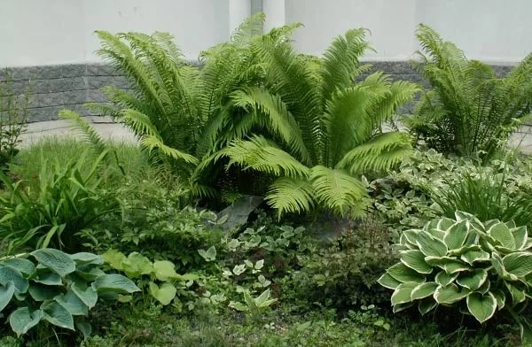Уход за садовым папоротником